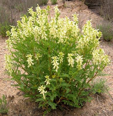 Astragalus Membranaceus 2
