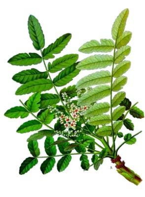 Boswellia Serrata (2)