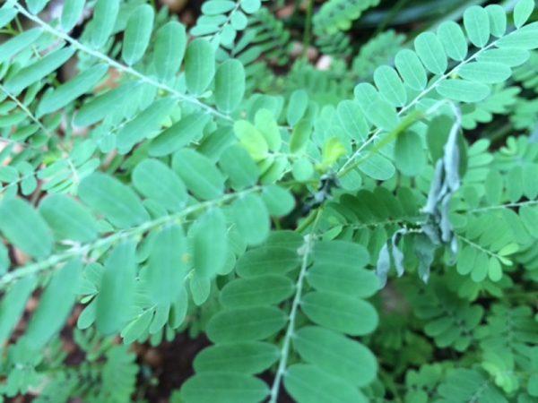 Phyllanthus-niruri 2