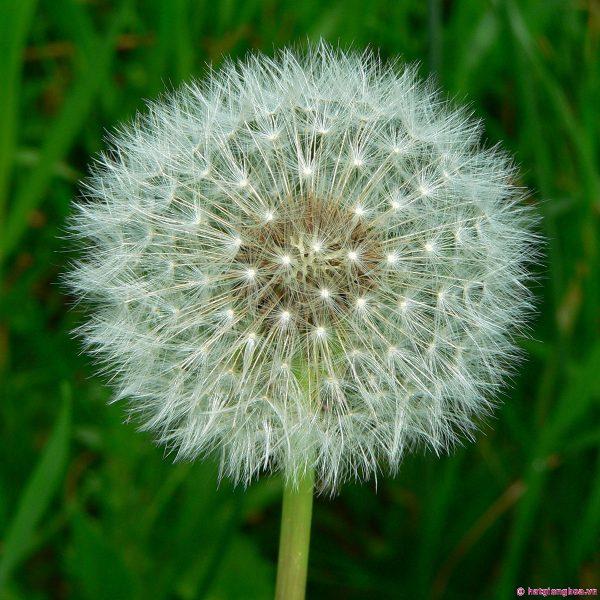 hoa-bo-cong-anh-dandelion