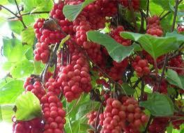 thao-duoc-teresa-herbs-schizandra fructus